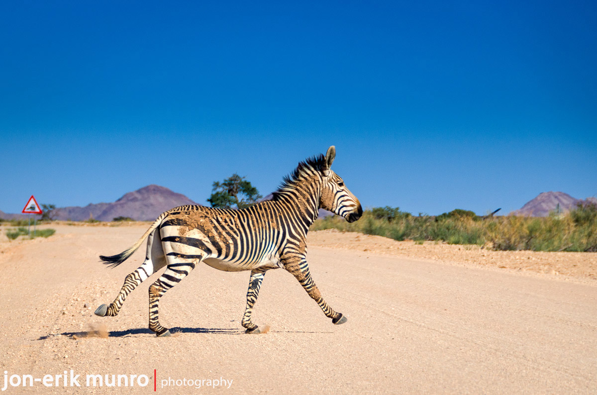 A lone zebra crosses the road