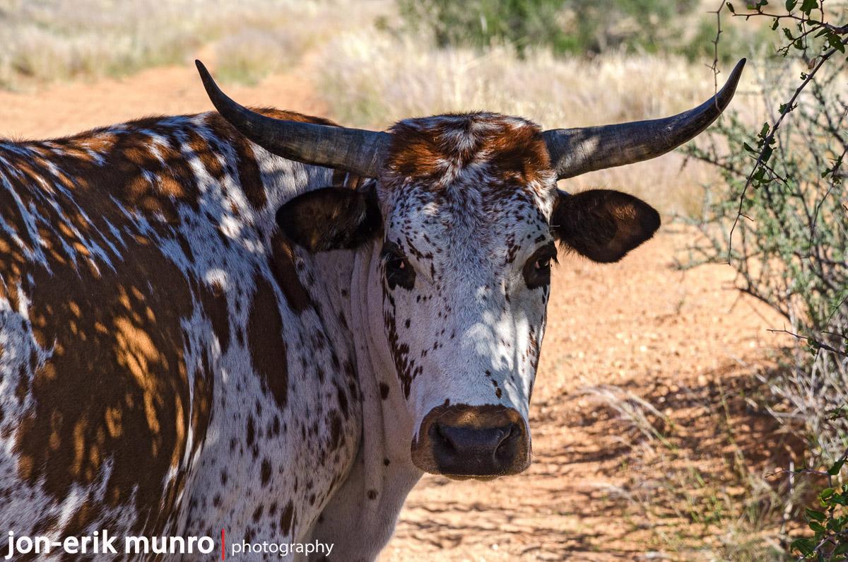 An Nguni bull