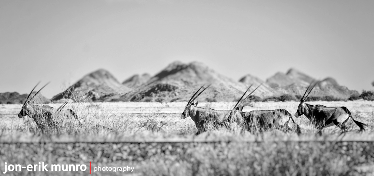 Oryx crossing on the side of the road