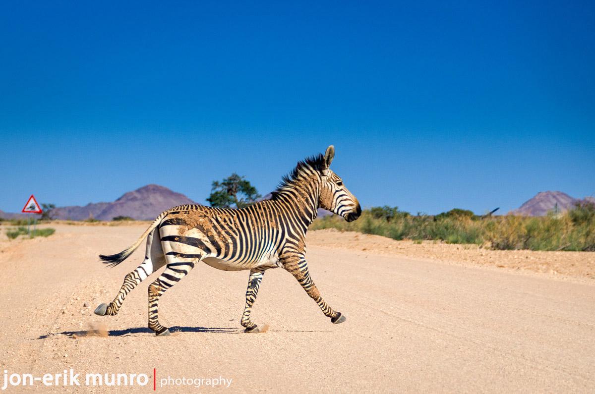 A lone zebra crosses the road