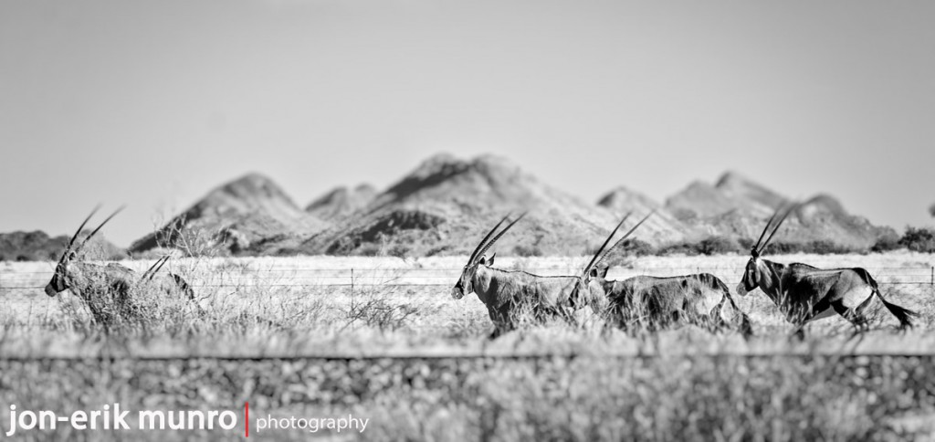 4 Oryx running along the railway line